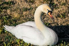 Swan resting in the park stock image