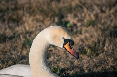 Swan resting in the park royalty free stock photography