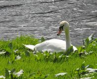 Swan, resting, riverbank, sunny day. Stock Image