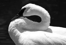 Swan Resting. A Trumpeter Swan resting and making an S shape with it's neck Royalty Free Stock Image