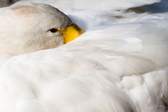 Swan Resting Stock Photos