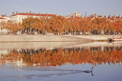 Swan on Rhone River at Lyon Stock Photos