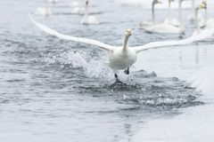 Swan lake in Hokkaido, Japan Royalty Free Stock Photo