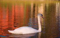 Swan in the river Royalty Free Stock Photography