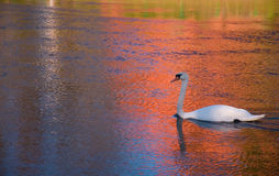 Swan in the river Royalty Free Stock Photos