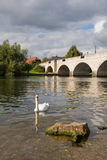 Swan on the river. Thames at Chertsey Surrey England Stock Images