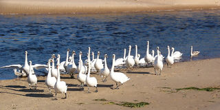 Swan River. Swans Gathering on rivers edge. River Ugie, Scotland Stock Photography