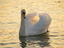 Swan on River Royalty Free Stock Photo
