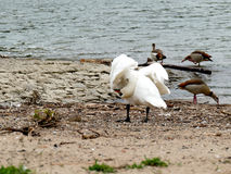 Swan on river bank cleaning feathers with nile geese Stock Photography