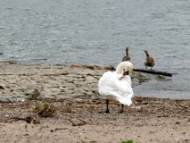 Swan on river bank cleaning feathers with nile geese Stock Photo
