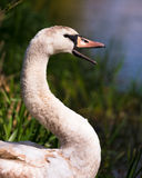 Swan On River Bank Smiling Royalty Free Stock Photo