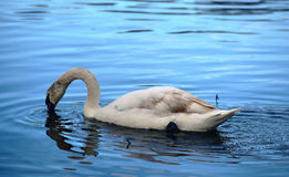 Swan on river with bounce in water. In winter time Royalty Free Stock Image