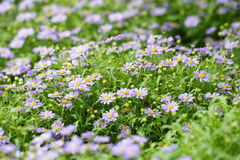 Swan River Daisy. By many of the Swan River Daisy formation of background Stock Photos