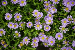 Swan River Daisy. Because of the rain makes Swan River Daisy has many water Royalty Free Stock Images