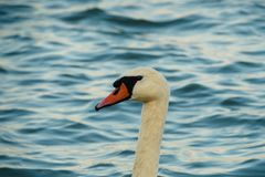 Swan at the river Danube close up royalty free stock photos