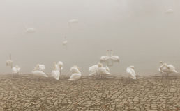 Swan in river Danube, foggy day stock image