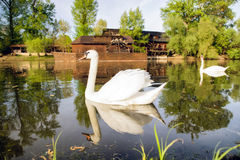 Swan on river Danube and watermill in Kolarovo, Slovakia Stock Images