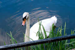 Swan in the River Great Ouse Stock Photos