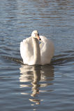 Swan. On the river Great Ouse, Bedford, England Royalty Free Stock Images