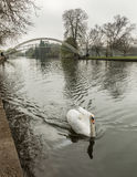 Swan on River Great Ouse in Bedford with suspension bridge Royalty Free Stock Photo