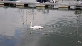 Swan on river in Lymington marina Stock Photos