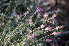 Swan River Myrtle native Plant. The lovely delicate flowers of the west Australian native plant wild flower Swan River myrtle are pink and white with needle like stock photos