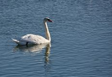 Swan on a river. One swan swimming on a cold river in the winter Stock Image