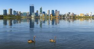 Swan in the river and Perth city on background royalty free stock photography