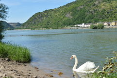 Swan with river rhine in Germany Stock Image