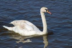 Swan on the River Shannon royalty free stock images