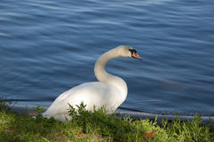 Swan on the river. Swan standing on the bank of the river stock images