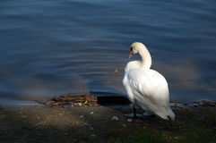 Swan on the river. Swan standing on the bank of the river stock image