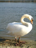 Swan at the river Stock Image