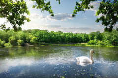 Swan on the river. In summer day Royalty Free Stock Photo
