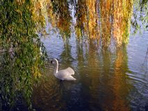 Swan in the river Royalty Free Stock Image