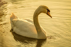 Swan. On the river at sunset Royalty Free Stock Photo