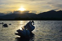The swan on river at sunset. Swan on river at sunset Stock Image