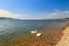 Swan in the river Tay on sunny day in Dundee, Scotland Stock Photos