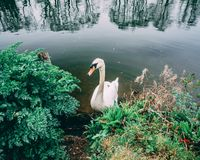 Swan in River Thames by Foliage on Bank royalty free stock photography