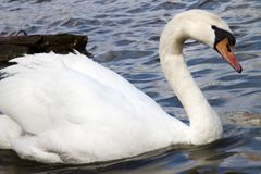 Swan in the river Vltava in Prague. Old Europe Royalty Free Stock Photos