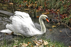 Swan on river water Royalty Free Stock Image