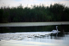 Swan on a river Stock Photography