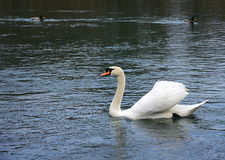 Swan in the river. White swan in the river with two ducks stock photography
