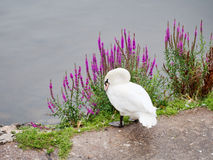 Swan on riverbank in Exeter, Devon Stock Photography