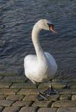 Swan riverside Royalty Free Stock Photo