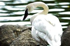 Swan on rocks along waterfront. Profile portrait of white swan resting on rocks along shore Stock Image