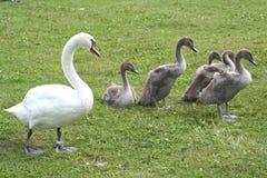 swan rodzinne Fotografia Stock