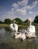 swan rodziny Zdjęcia Stock