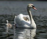 swan rodziny obraz royalty free