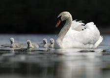swan rodziny zdjęcie royalty free